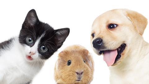 Hund  Katze Meerschweinchen