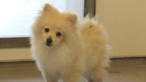 Pomeranian Sepp