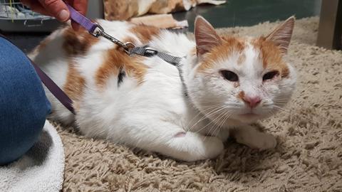 Die rot-weiße Katze Sahara liegt auf einem flauschigen Teppich und trägt ein Katzengeschirr. Ihr Gesicht ist noch etwas geschwollen.