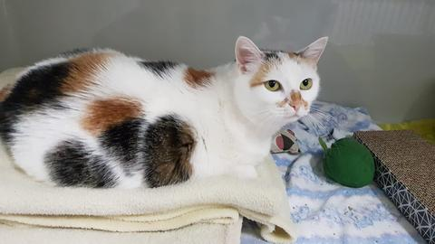 Katze Shiba
