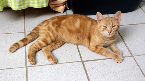 Katze Goldy