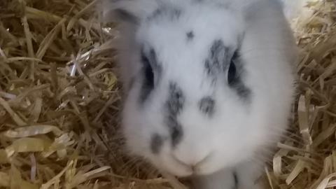Tiervermittlung hallo hessen_Kaninchen Schlappohr