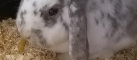 Tiervermittlung hallo hessen_Kaninchen Snowflake