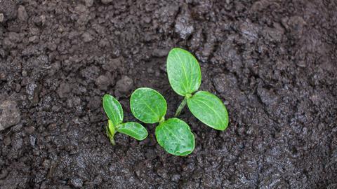 Junge Zucchinipflanze