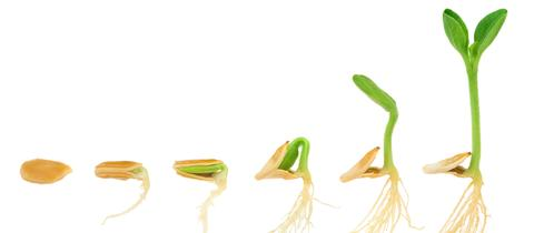 Zucchinisamen wird zum Keimling