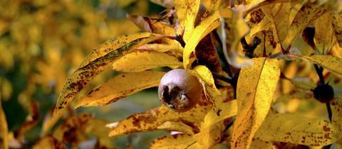 Mispelzweig im Herbst