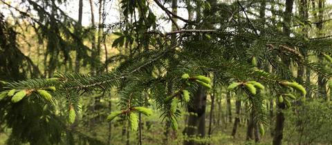 Eine junge Fichte mit frischen Zweigen im Wald.
