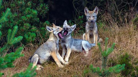 Junge Wölfe am Spielen.