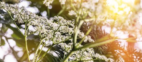 Holunderblüten im Sonnenlicht
