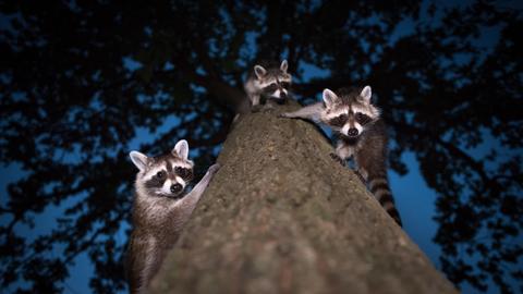 Drei Waschbären am Baumstamm
