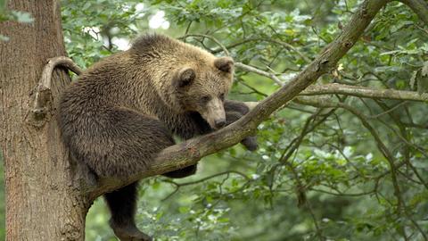 Ein Braunbär im Wildpark Knüll auf einem Baum.