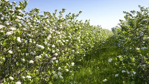 Blühende Apfelbeeren-Hecken.