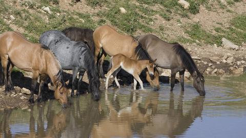 Wilde Mustang Pferde beim Trinken