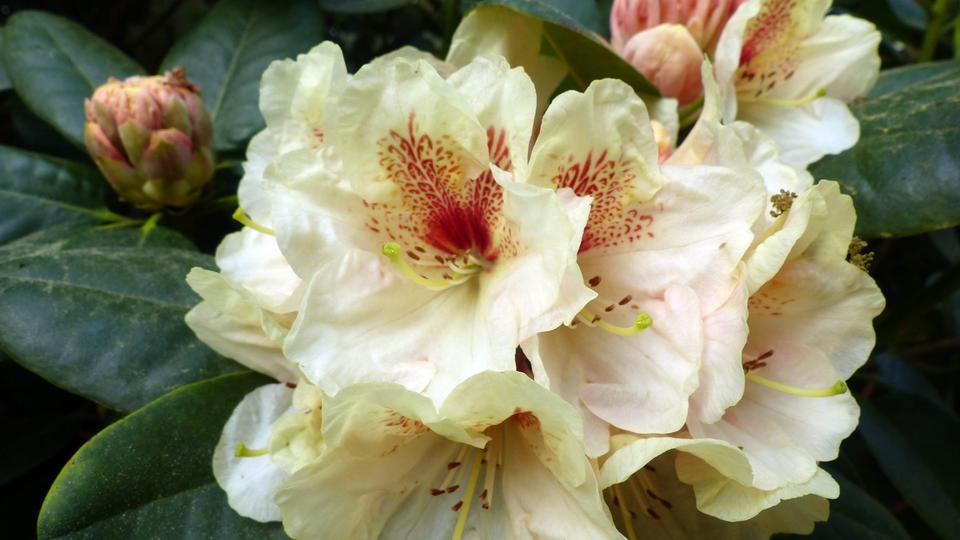 hallo hessen rhododendren und azaleen hr sendungen. Black Bedroom Furniture Sets. Home Design Ideas