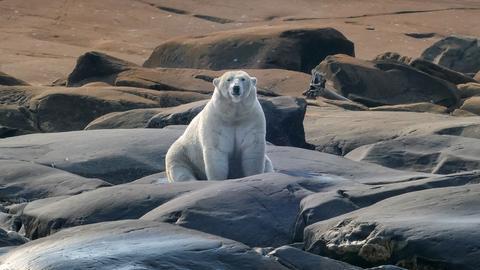 Eisbären und Beluga-Wale