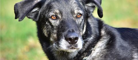 Hund Maxi