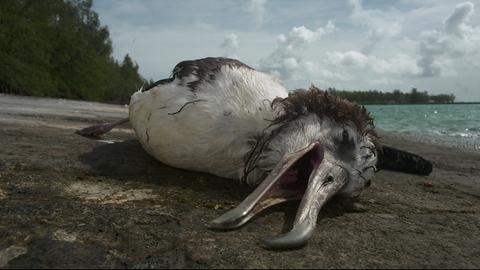 Sterbender Albatross