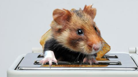 Hamster in Toaster