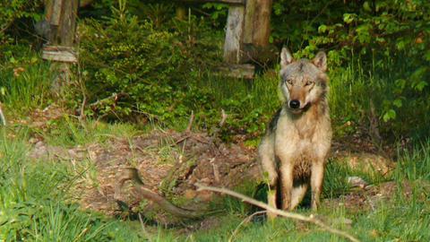 Wolf sitzt an einem Waldrand