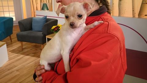 Chihuahua Lido