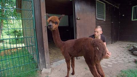 Giraffe, Erdmännchen & Co. XL (14) - Spotty, das kleine Alpaka