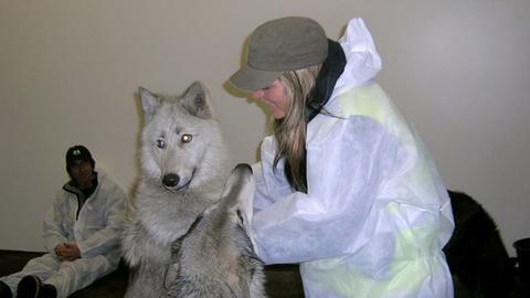 Animal-Lounge des Frankfurter Flughafens Ein Rudel Wölfe aus Sibirien macht Zwischenlandung in Deutschland.
