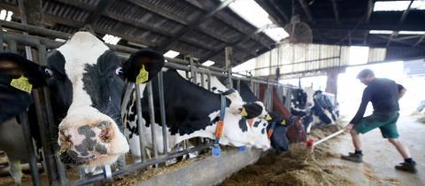 Kuh im Kuhstall