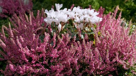 Lila Besenheide (Calluna vulgaris) und weiße Herbstalpenveilchen (Cyclamen hederifolium).