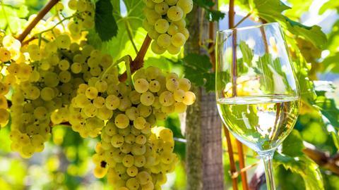 Weintrauben im Weinberg eines Winzers. Weingarten im Herbst. Ein gefülltes Weinglas wird vor Weintrauben an der Rebe gehalten.