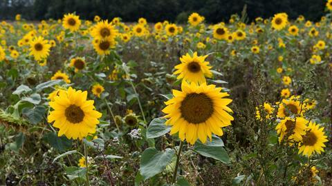 Ein Feld voller blühende Sonnenblumen.