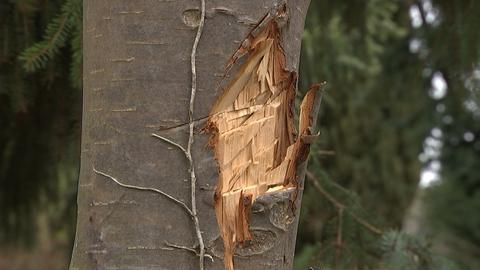 Mutwillig zerstörte Rinde eines Baumes.