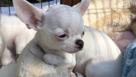 Unser neuer Freund: Chihuahua-Welpe