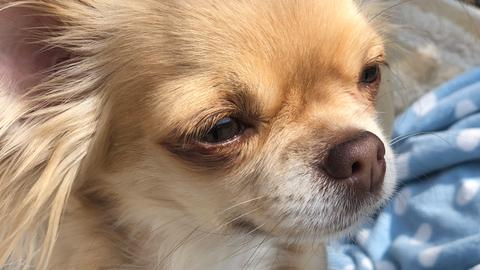 Unser neuer Freund: Chihuahua-Muttertier