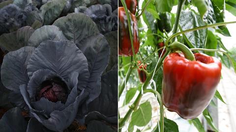 Rotkohl gegen Paprika?