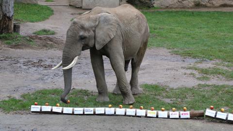 Elefant Tamo sucht Äpfel aus