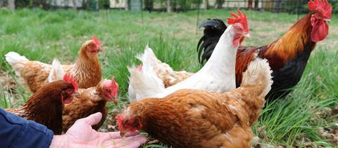 Hühner kann man mieten