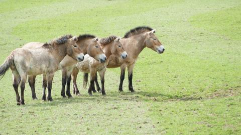 Vier Przewalski-Pferde auf einer Weide.