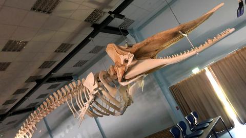 Pottwal-Skelett im Hörsaal der Hermann-Hofmann-Akademie der Justus-Liebig-Universität Gießen.