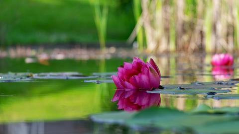 Eine pinke Wasserlilie/Wasserrose auf einer Wasseroberfläche.