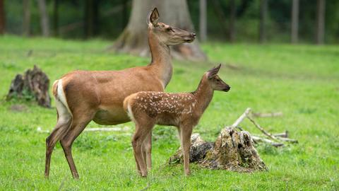 Rothirsch (Cervus elaphus): eine Hirschkuh mit Kalb im Wildpark Knüll.