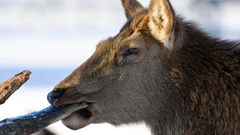 Eine Rothirschkuh (Cervus elaphus) im verschneiten Tierpark Sababurg knabbert an einem Ast.