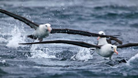 Schwarzbrauenalbatrosse nutzen die Kraft der starken Südwinde um, auf der Suche nach Nahrung, tausende Kilometer übers Meer zu gleiten. Albatrosse haben die größte Spannweite unter den Vögeln.