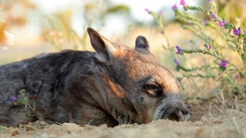 Wombats können nicht schwitzen – wenn sie sich beim Graben sehr anstrengen, müssen sie pausieren, um nicht zu überhitzen.