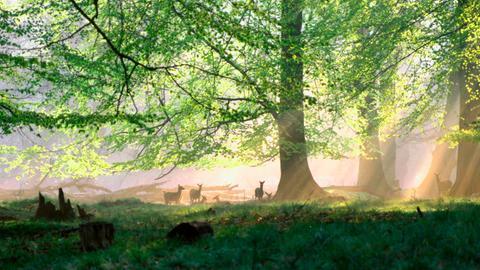 Eine Rothirschherde rastet friedlich mitten in einem noch sehr ursprünglichen Wald.