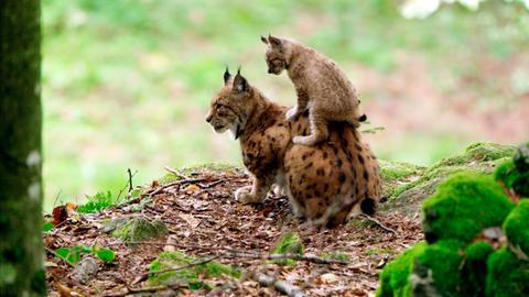 Die größte Wildkatze Europas hat im Böhmerwald wieder ein Zuhause gefunden.