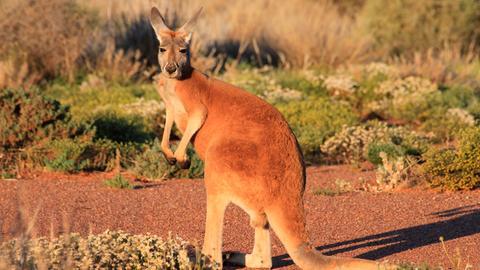 """Bei den """"Roten Riesen"""" sind nur die Männchen rotbraun gefärbt – die kleinere Weibchen haben meist ein eher graublaues Fell."""