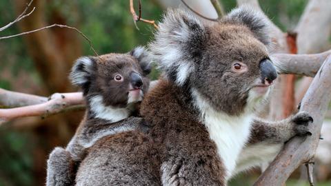 Früher wurden Koalas wegen ihres plüschigen Fells gejagt, heute stehen die Beuteltiere unter Schutz.