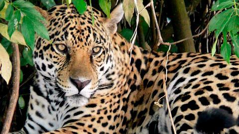 Ein Jaguar im Taiamá-Reservat