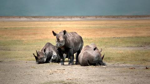 Nashörner in der Serengeti