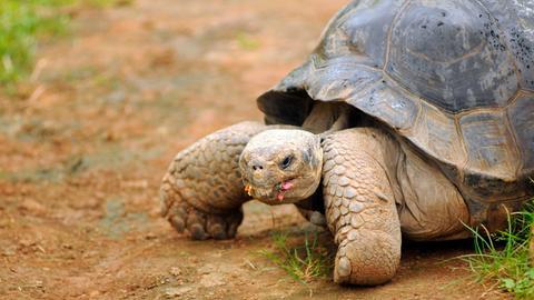Galapagos-Schildkröte Tom ist ein stürmischer Liebhaber. Von Tomasa, dem Schildkröten-Weibchen, kann er gar nicht genug bekommen. Doch weil Tom zu ungestüm und auch noch zu schwer ist, hat er seiner Geliebten einige Verletzungen am Panzer zugefügt. Deswegen erholt sich Tomasa (Foto) in einer Außenstation des Parks.